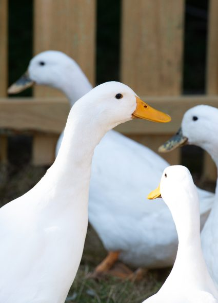 Ducks at Prince Michael of Kent Court