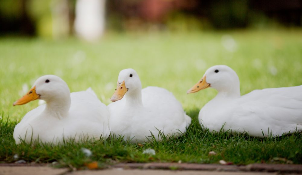 Resident ducks at Prince Michael of Kent Court